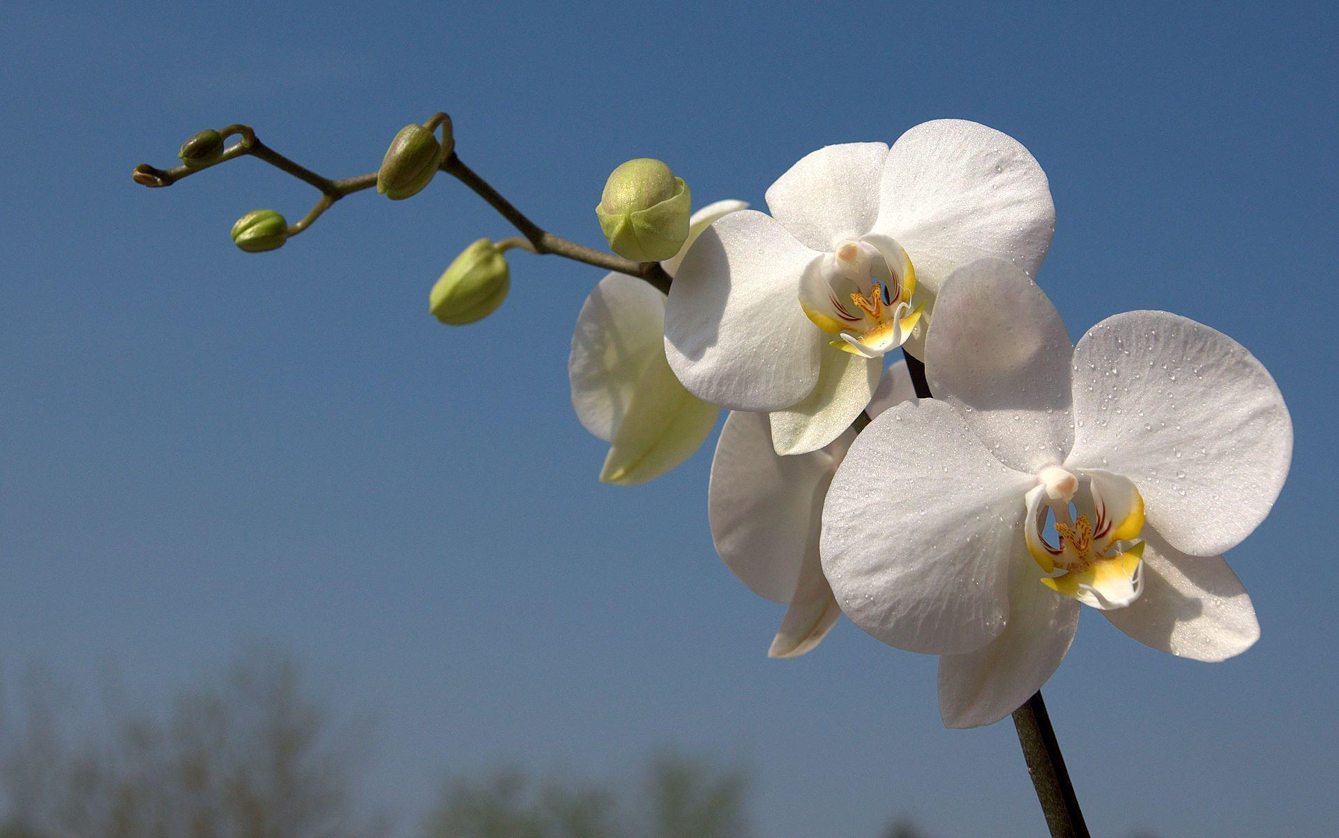 phalaenopsis orchid wallpapers pictures - photo #7