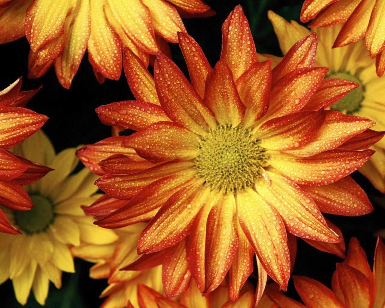 fall flowers wallpaper by - photo #4
