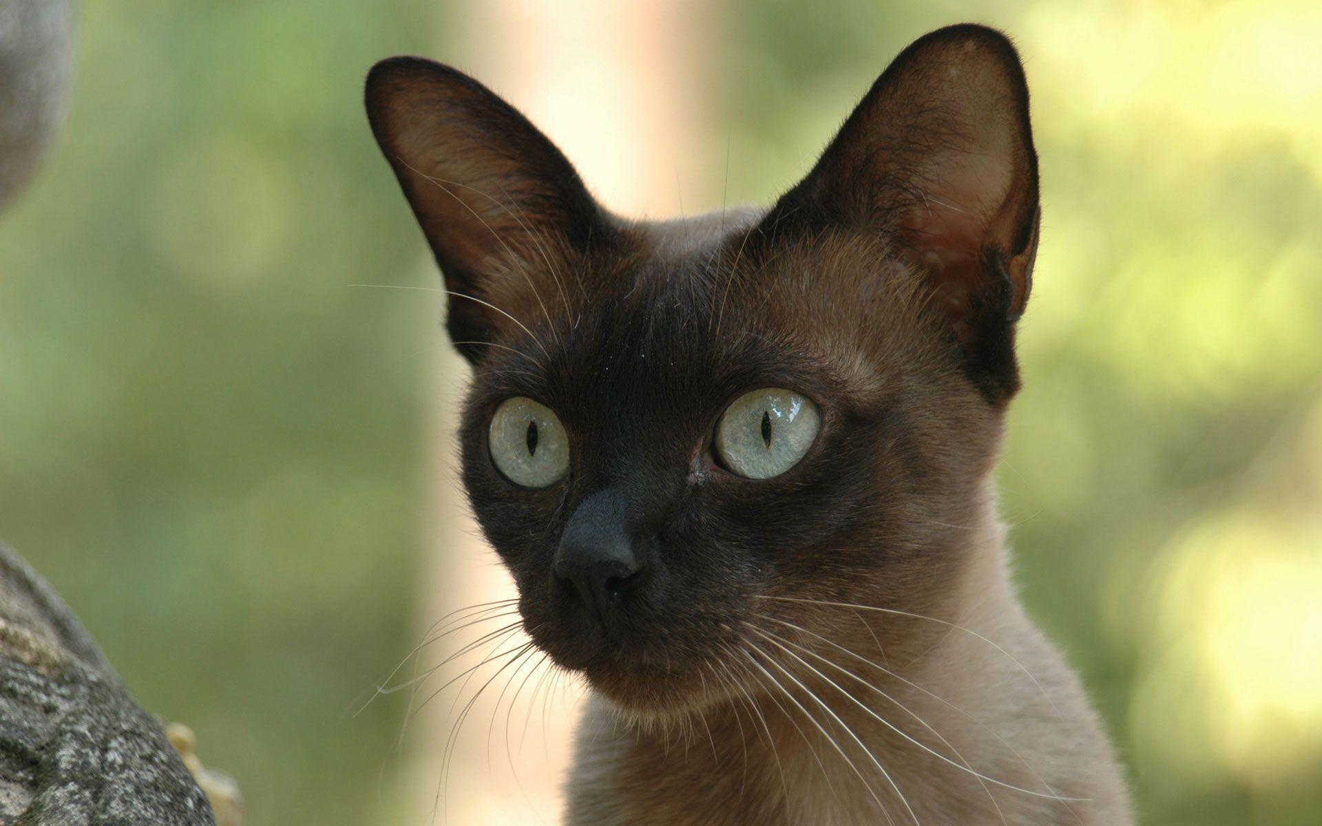 siamese cats wallpaper 3 - photo #11