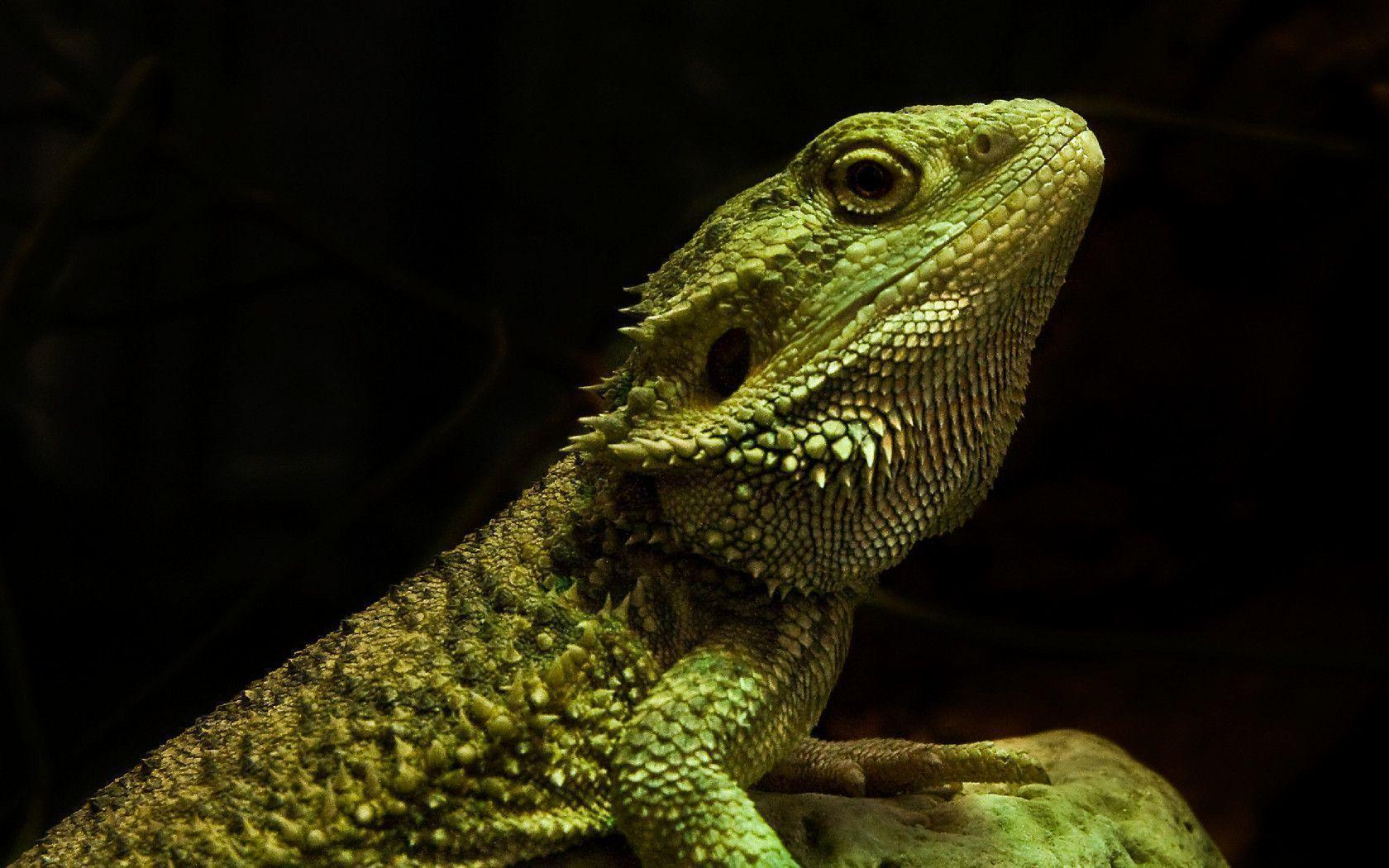 H D Reptiles Reptile Wallpapers - W...