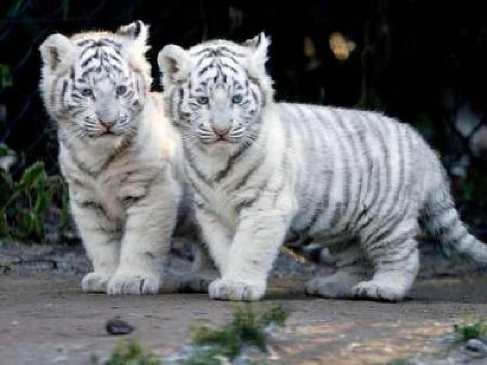 Baby White Tiger Wallpapers - Wallpaper Cave - photo#5