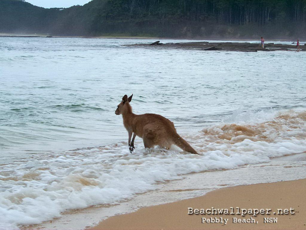 Pin Kangaroo Hd Wallpaper on Pinterest