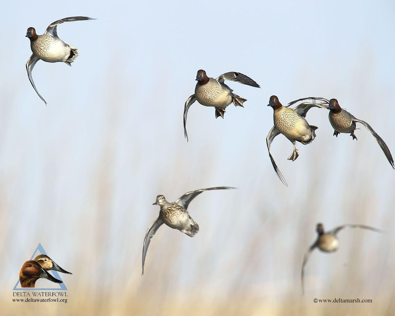 Pix For Delta Waterfowl Wallpaper