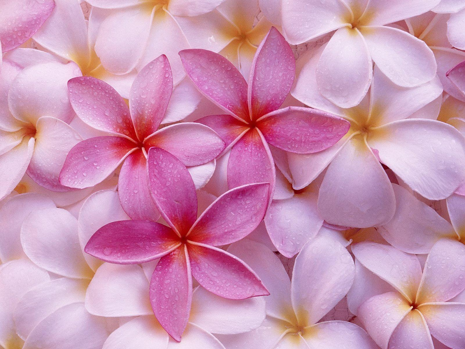 Hawaiian flower wallpapers wallpaper cave 30 tropical hawaiian flowers flower meanings pictures and photos izmirmasajfo