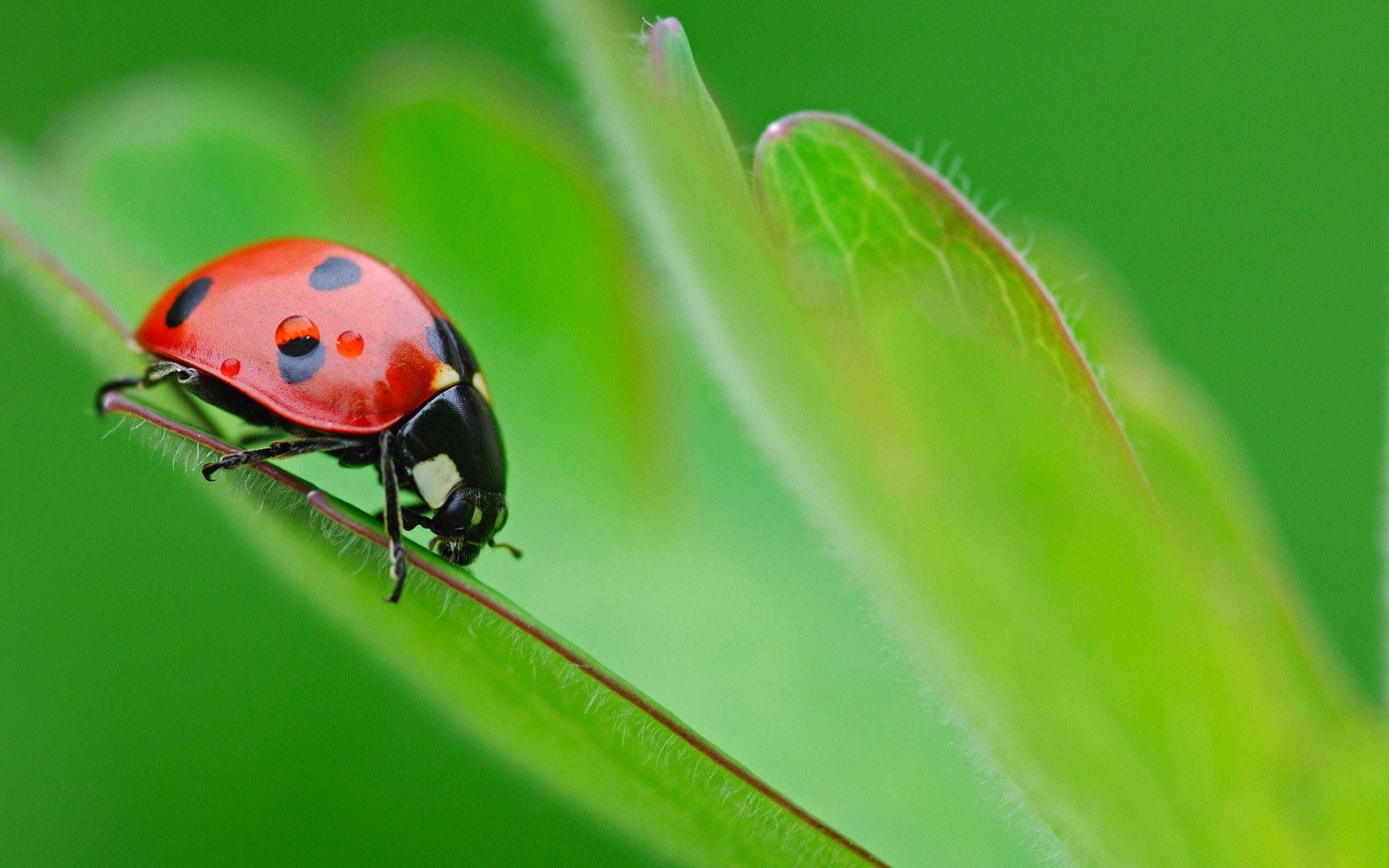 <b>Ladybug</b> on a heart shaped leaf - Macro <b>HD wallpaper</b>