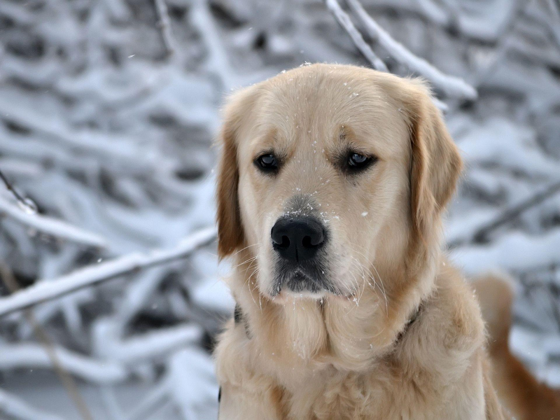 1920x1440 Sad Labrador Wallpaper