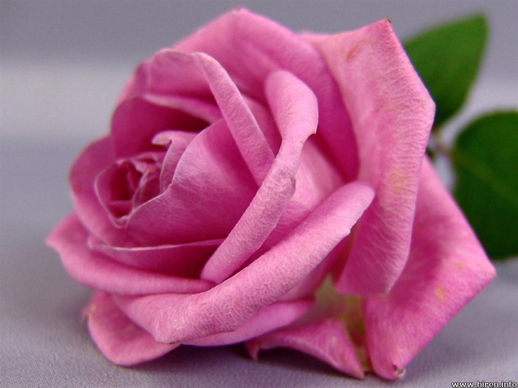 Pink Rose Flower Wallpapers - Wallpaper Cave
