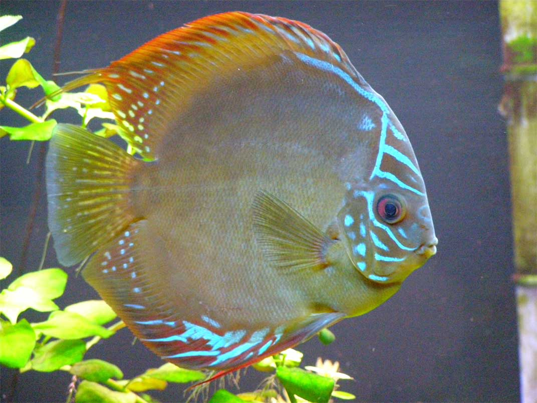 discus fish wallpapers wallpaper cave