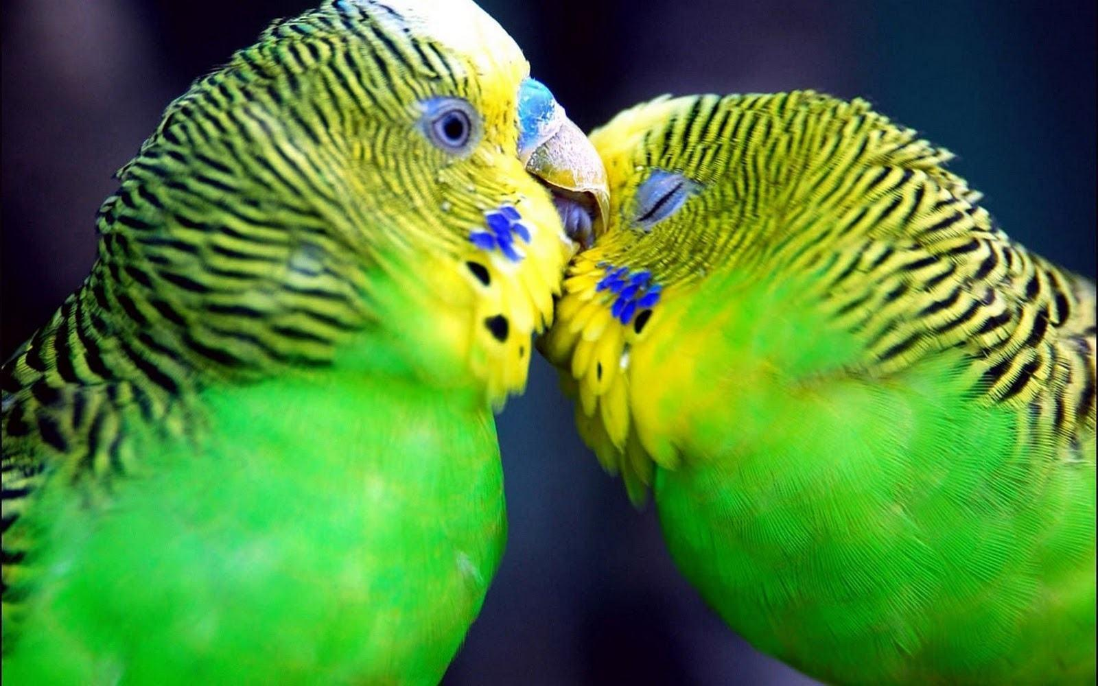 Love Bird Wallpapers - Wallpaper Cave