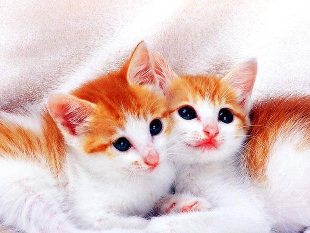 Cute White Kitten Wallpapers Hd