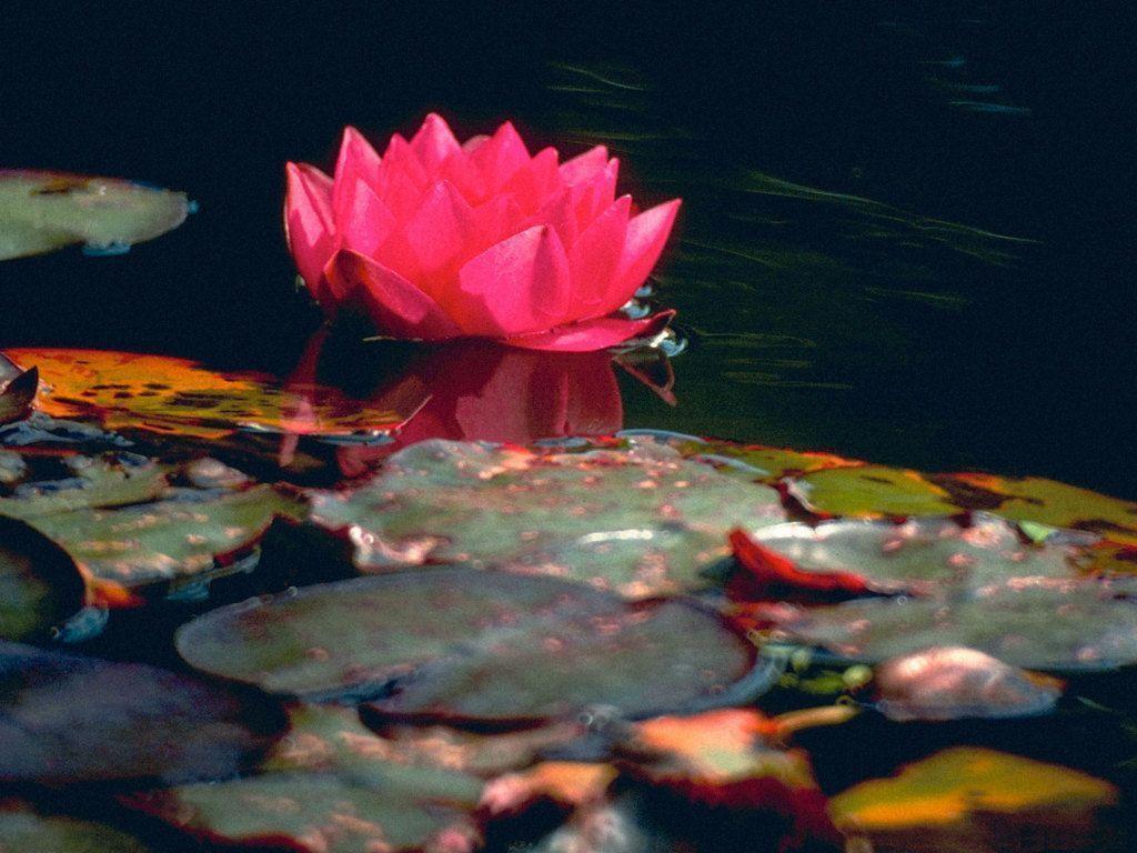 Flower wallpaper for pc, flower lotus wallpaper Wallpapers - HD ...