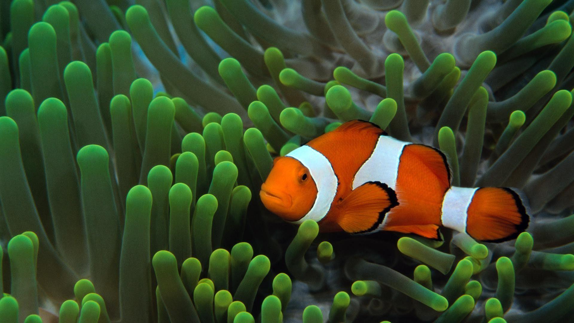 wallpaper clarkii clownfish - photo #47