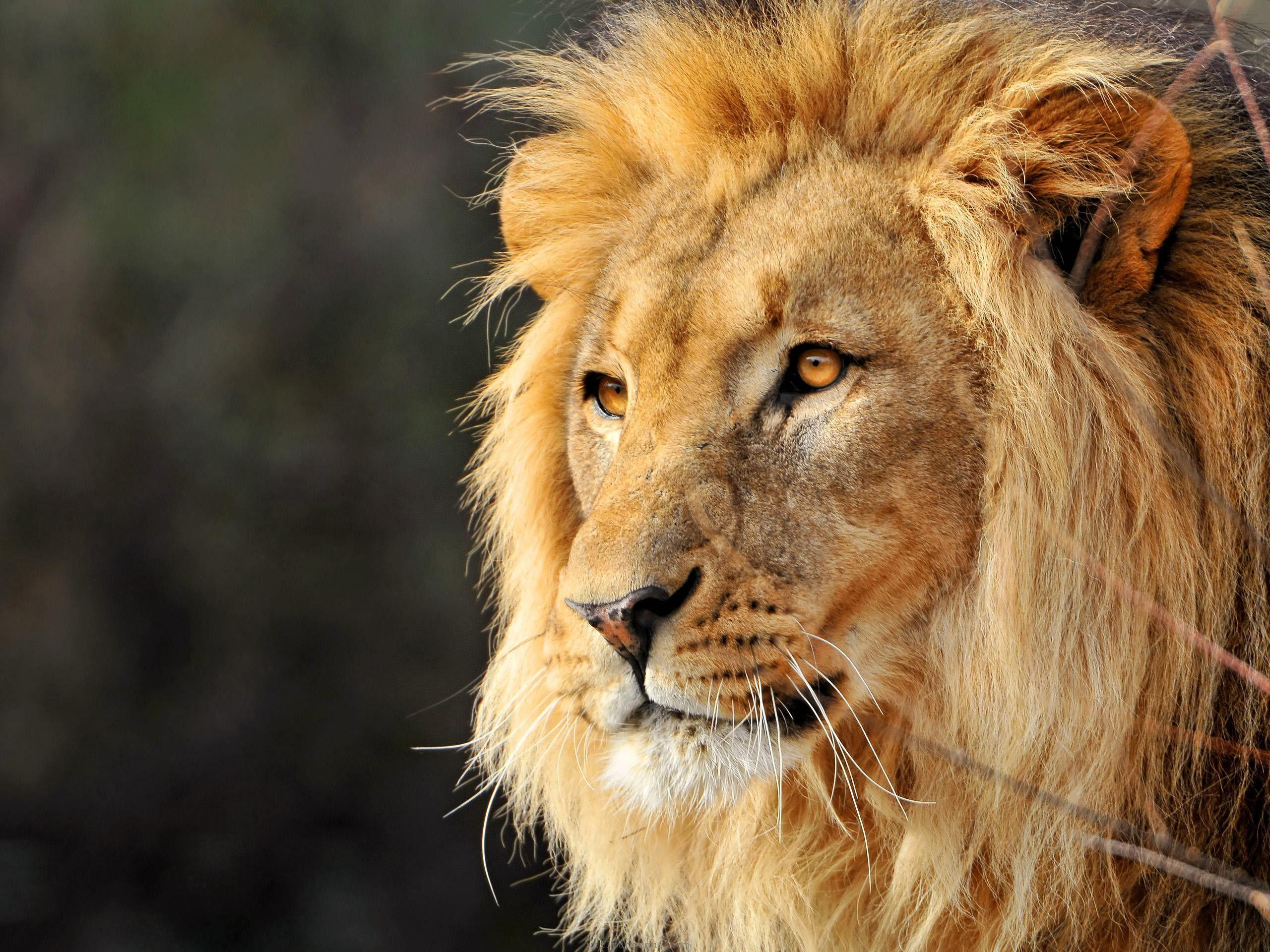 Lion Face Wallpapers Wallpaper Cave