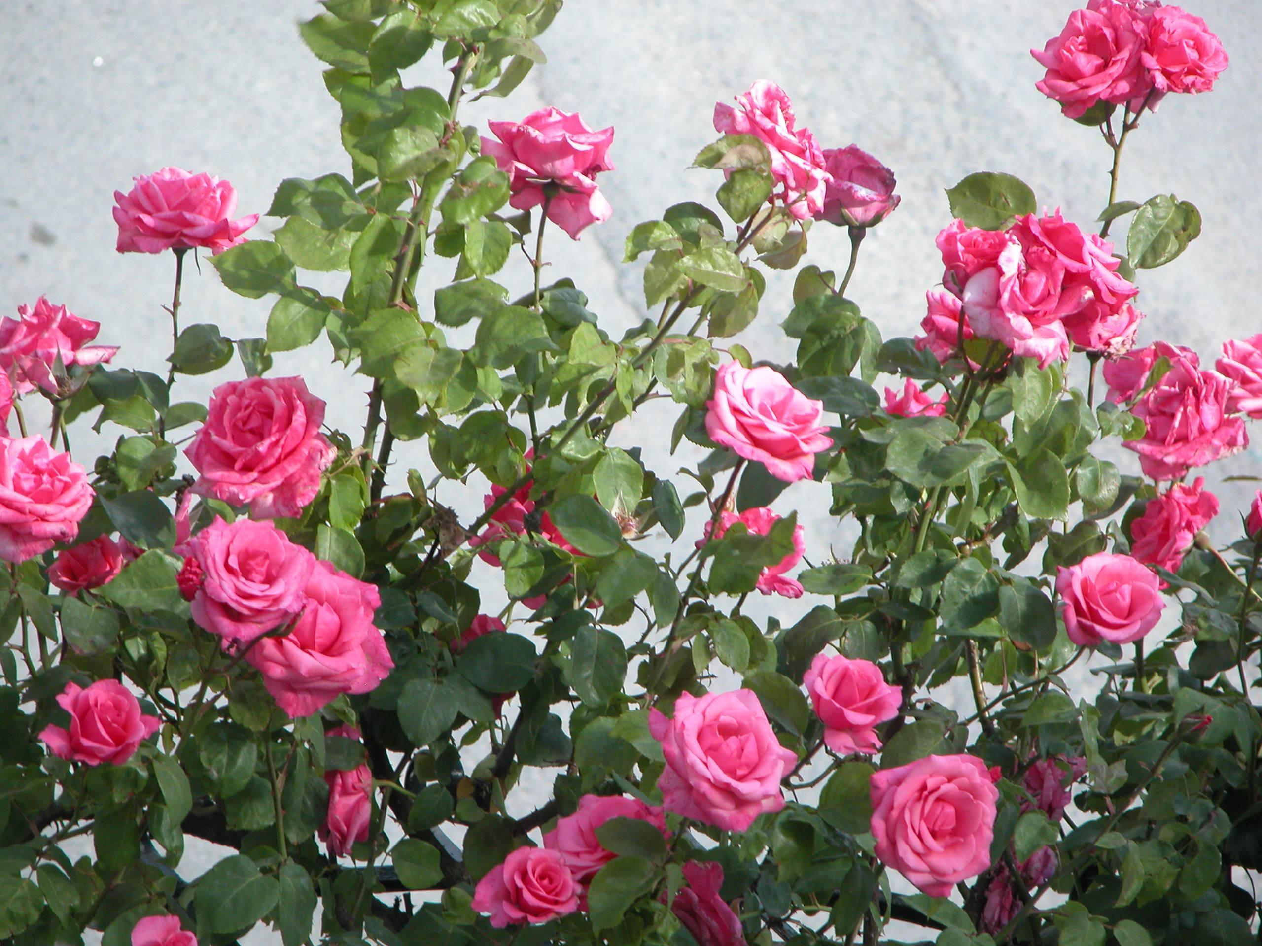 Wallpapers For > Pink Rose Garden Wallpapers