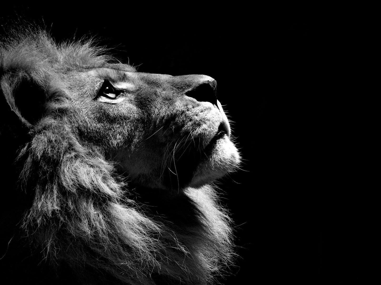 Desktop black and white photos of lions