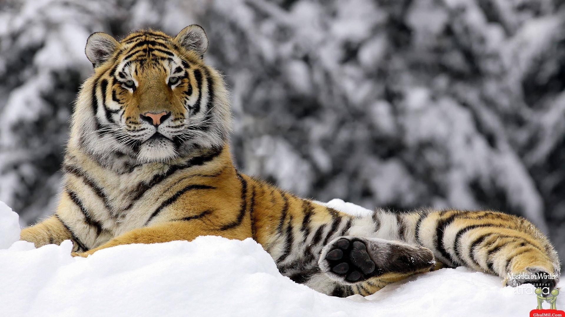 Beautiful <b>Tiger Wallpaper HD</b> Resolution : Animal <b>Wallpaper</b> ...