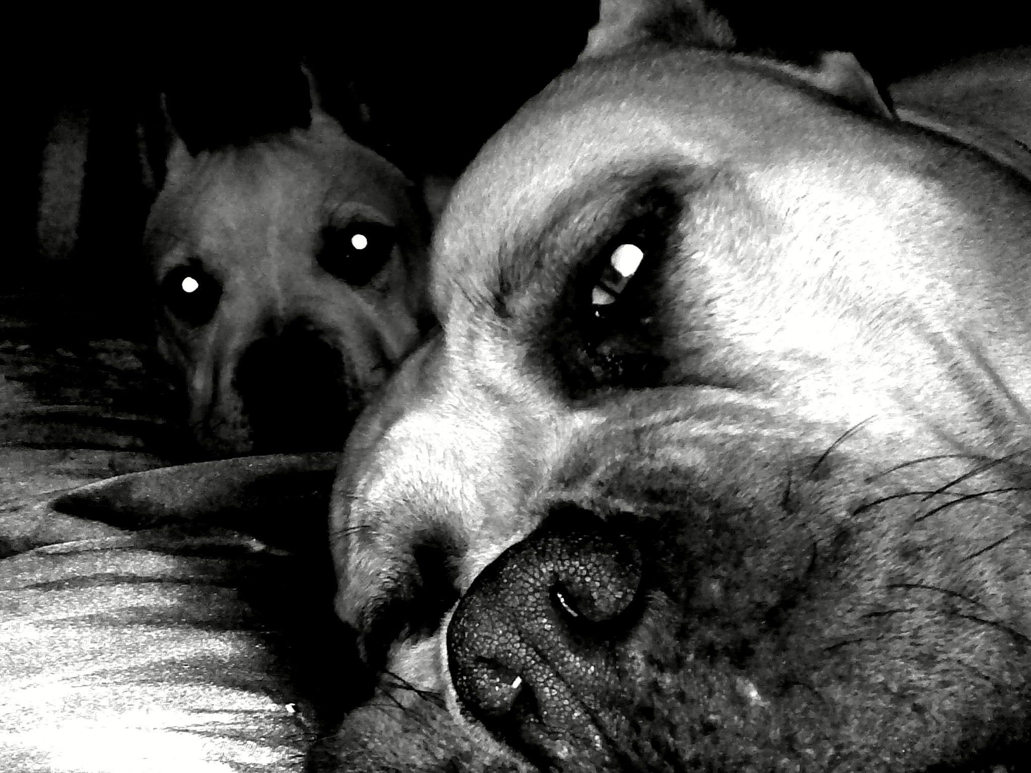 Pix For > Pit Bulls Wallpaper