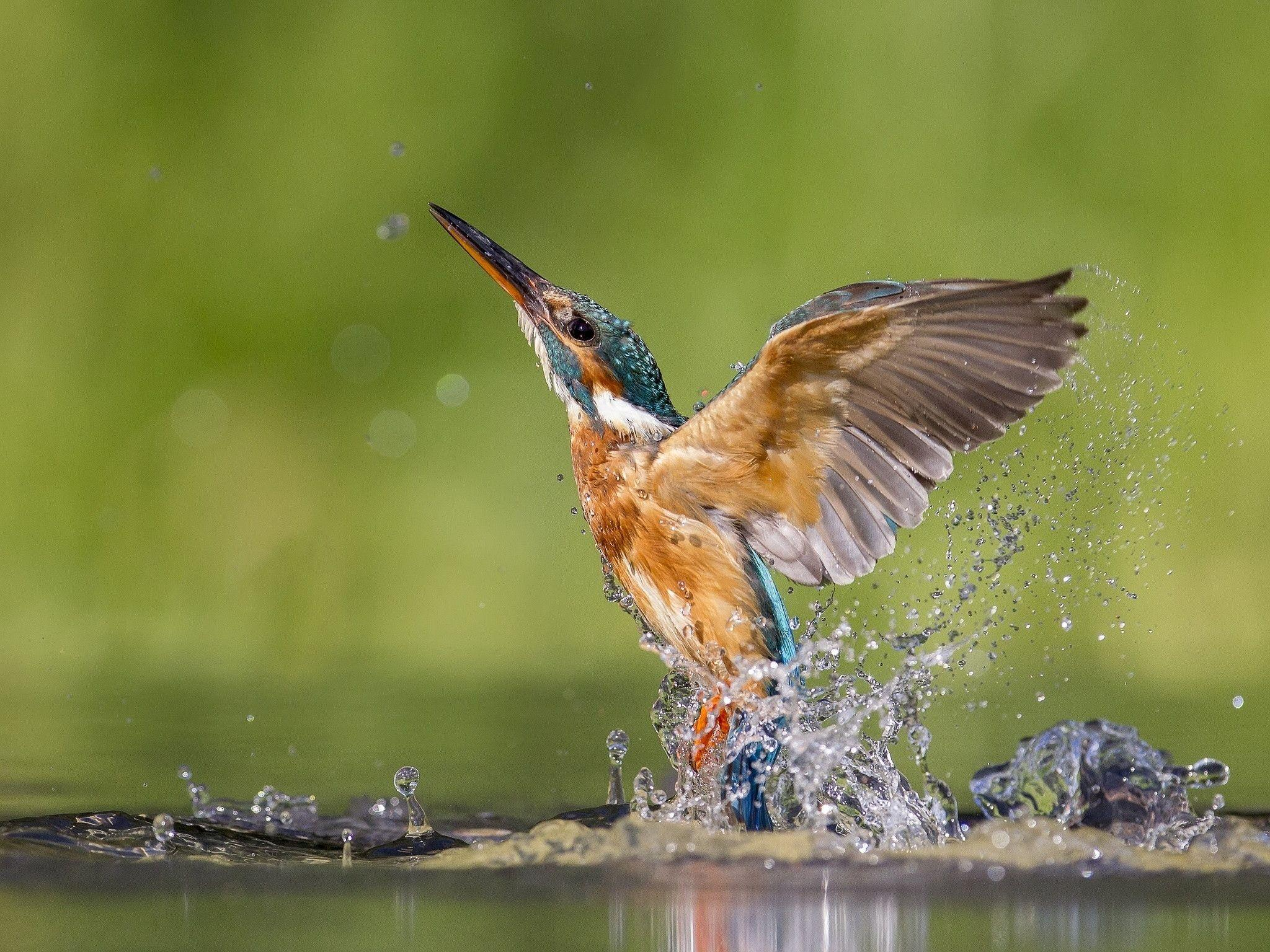 kingfisher wallpapers wallpaper cave