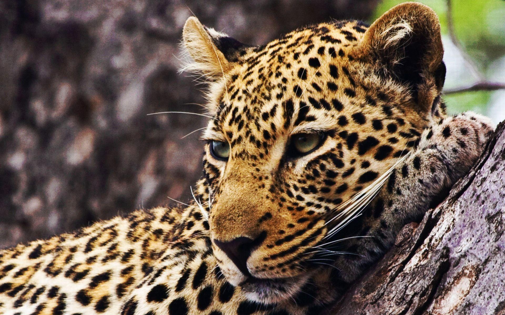 Cheetah Desktop Wallpapers Wallpaper Cave