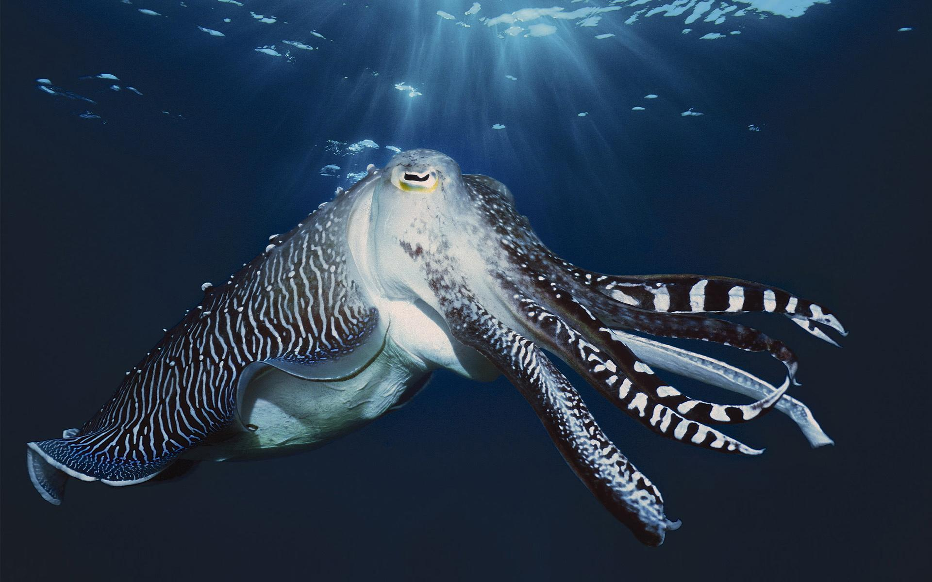 Cuttlefish wallpapers wallpaper cave for Blue sea motor inn
