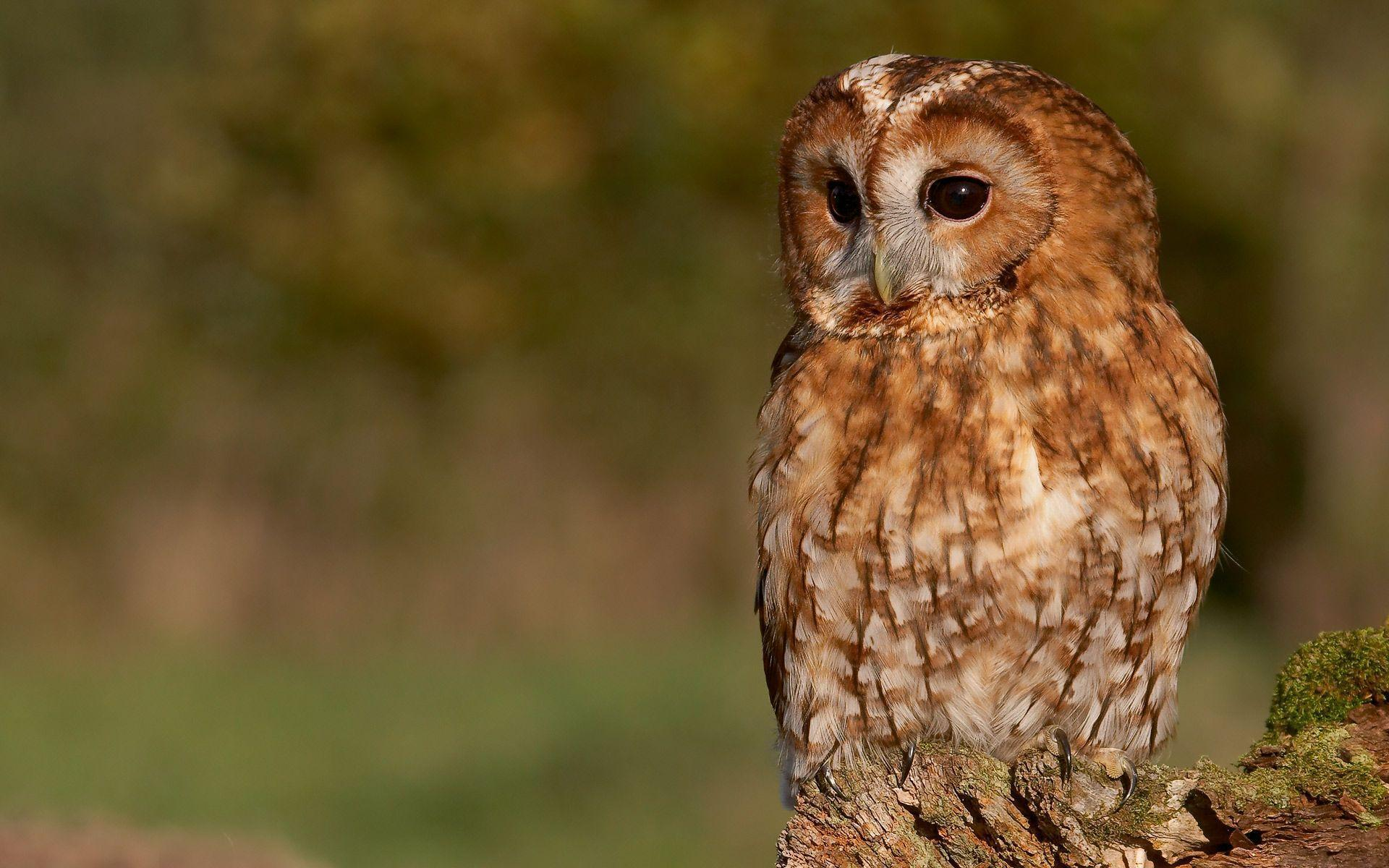 Tawny Owl Wallpaper by Photosbykev on DeviantArt