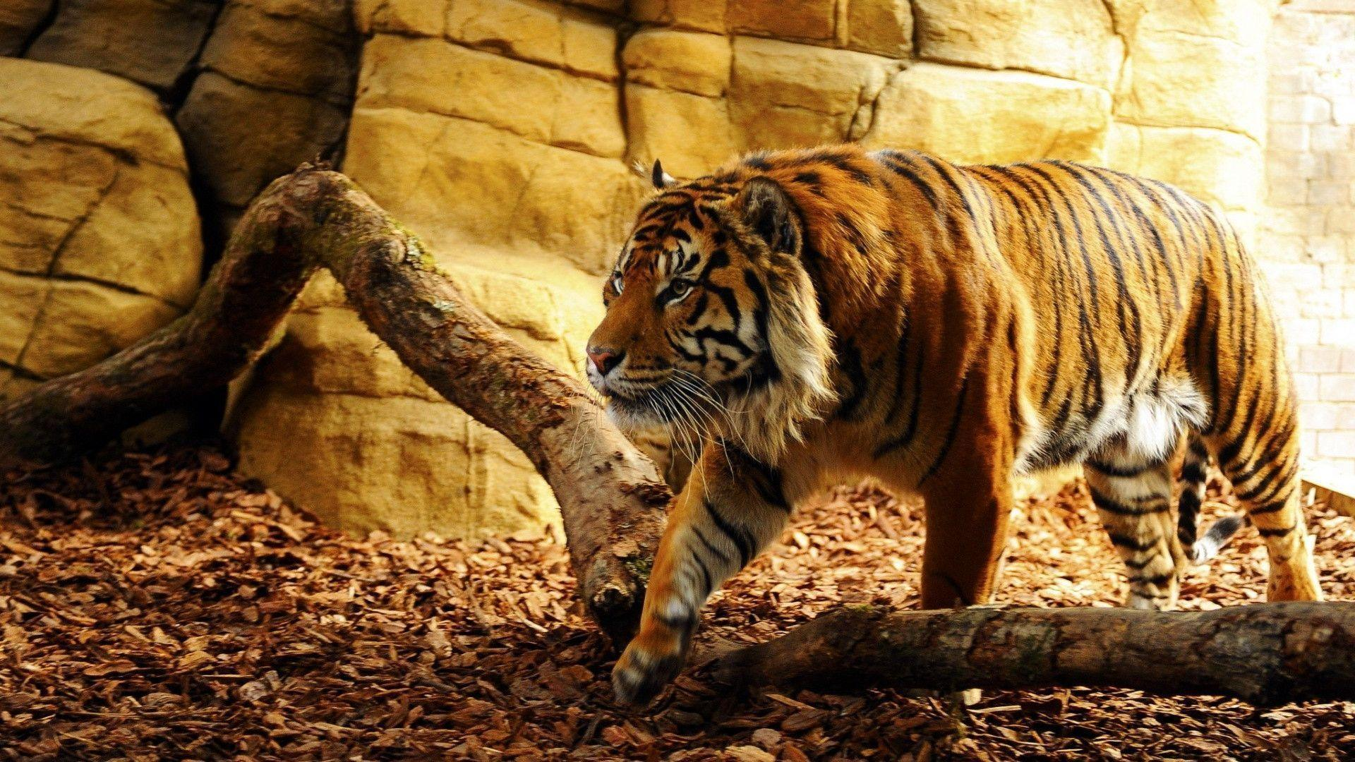 Wallpapers Tiger