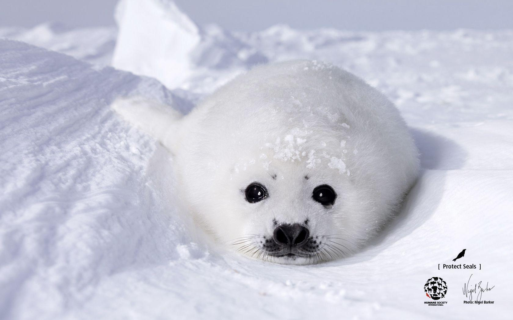 baby seal wallpapers wallpaper cave