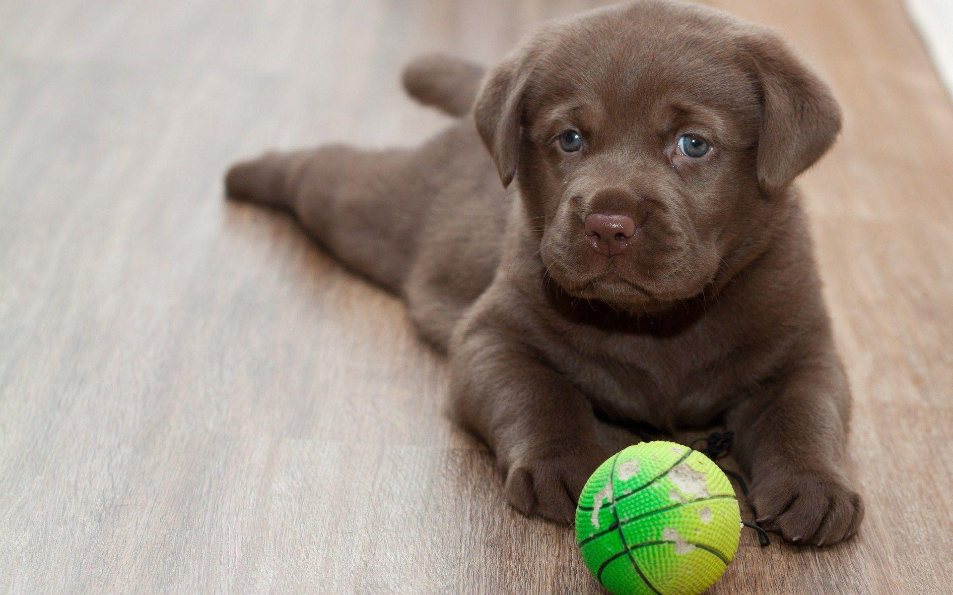 labrador retriever playing ball wide hd wallpaper - WPWide