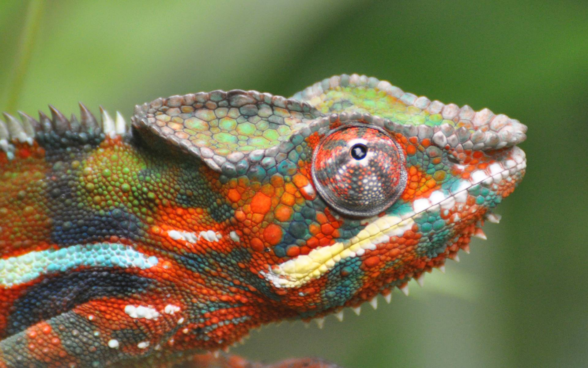 chameleon wallpaper 1920x1200 - photo #1