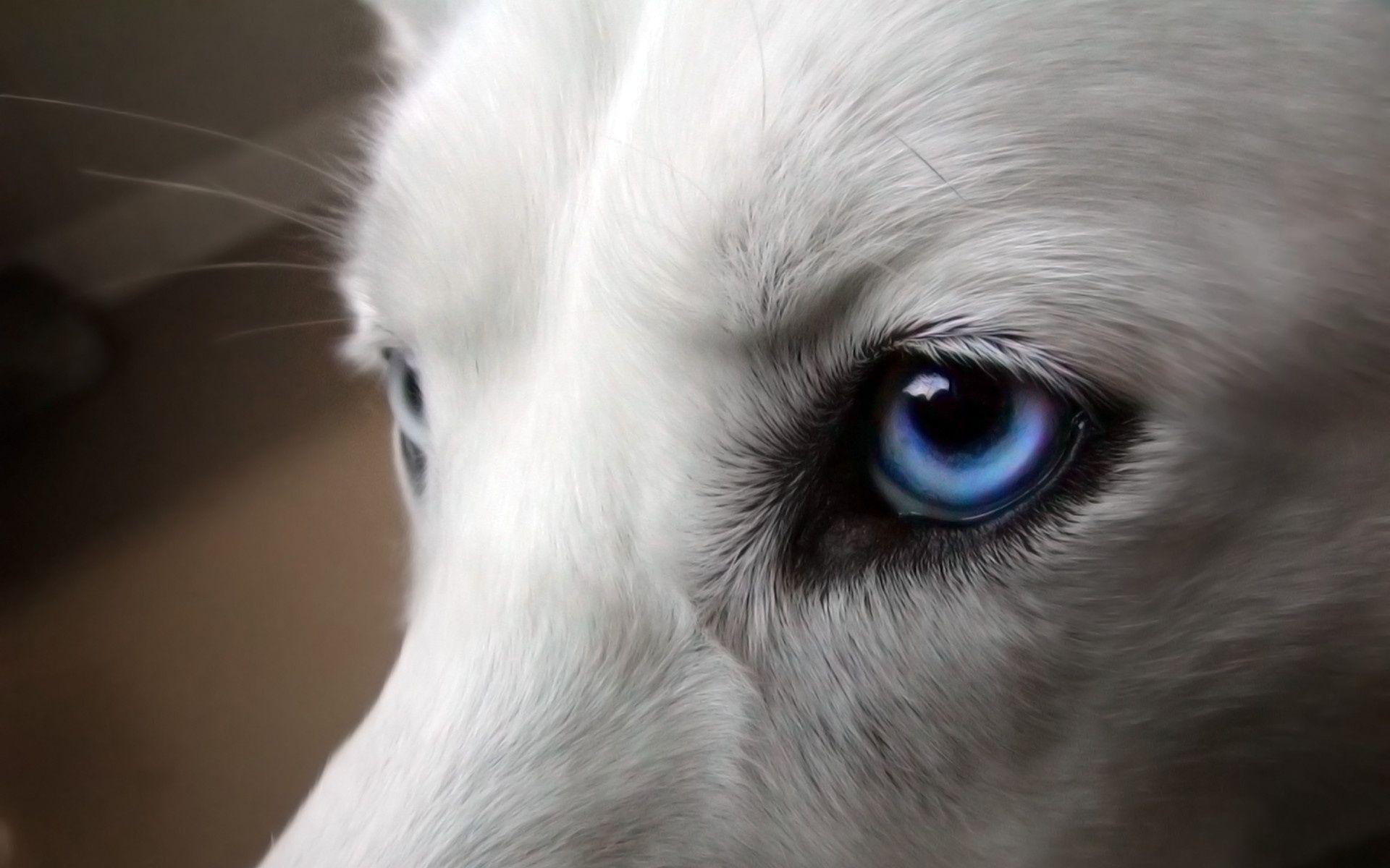 White Wolf Eyes HD Wallpapers . Free HD 3D Desktop Wallpapers