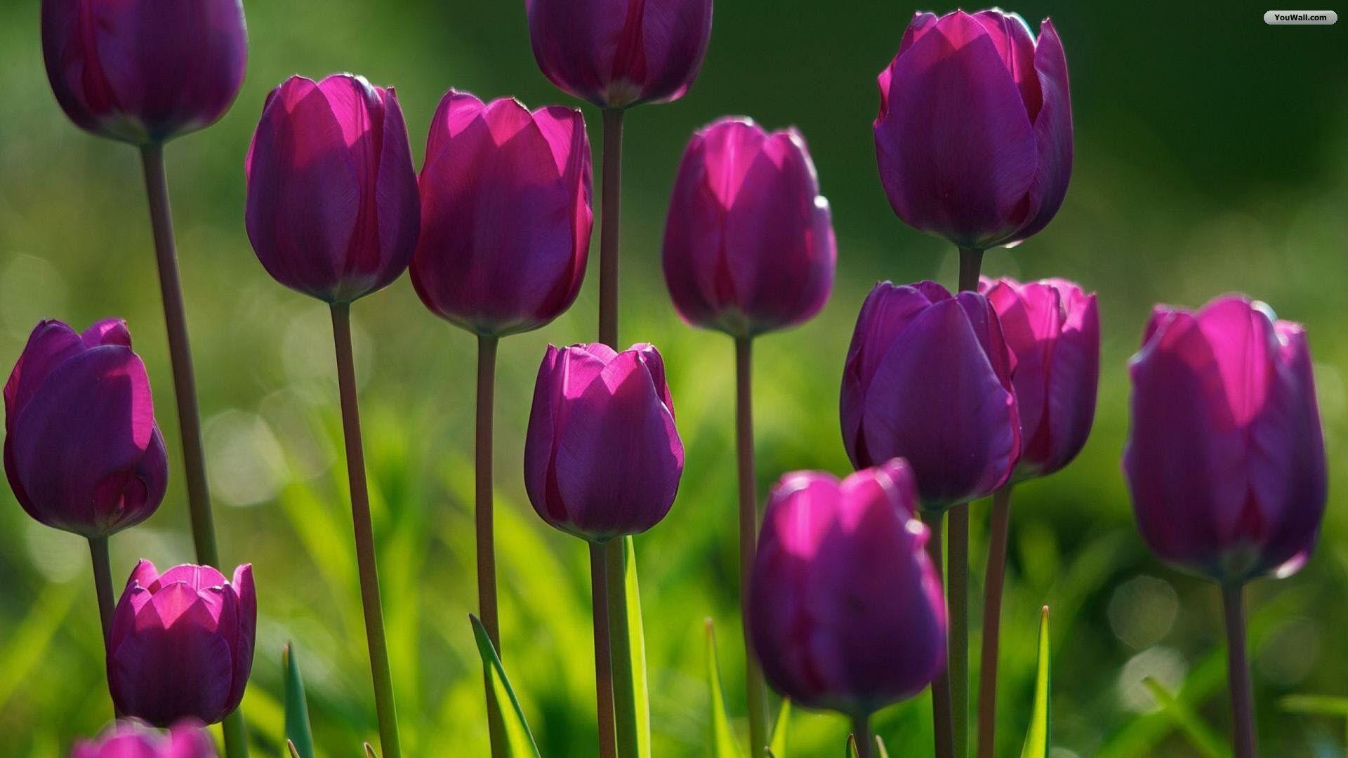 YouWall - Tulip Garden Wallpaper - wallpaper,wallpapers,free ...