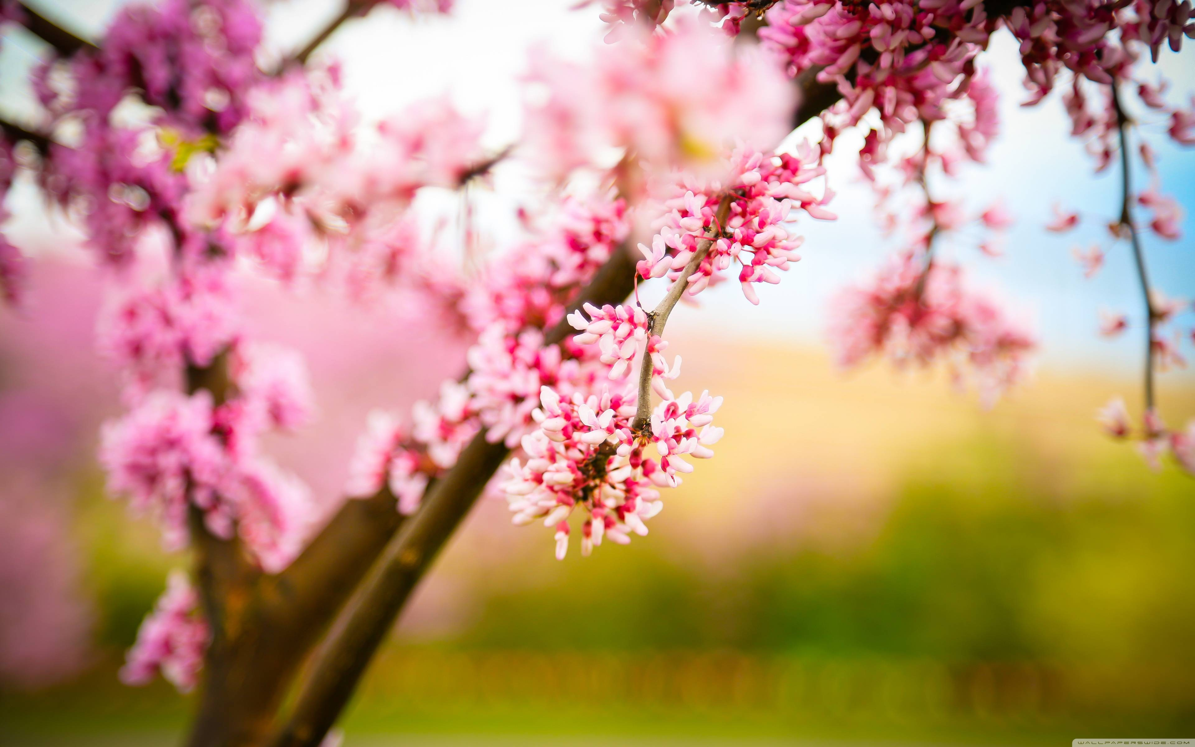Cherry Blossom Wallpapers Wallpaper Cave