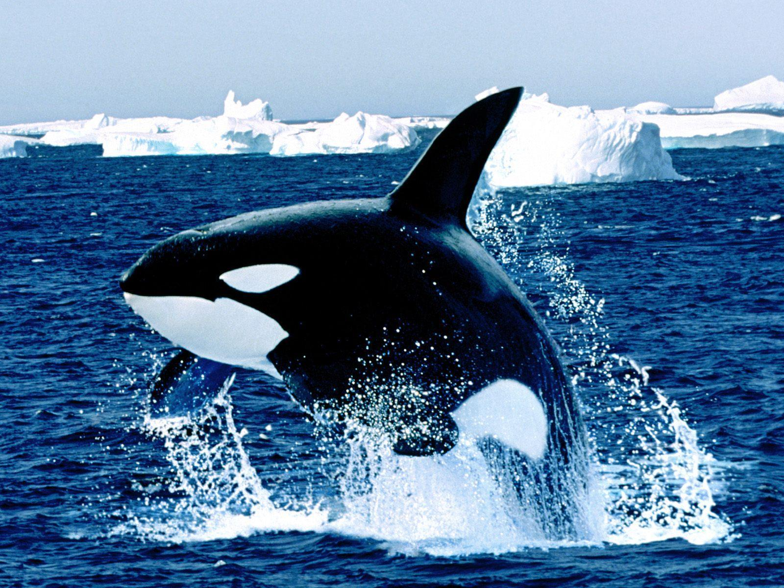 Emerging orca killer whale free desktop background - free ...