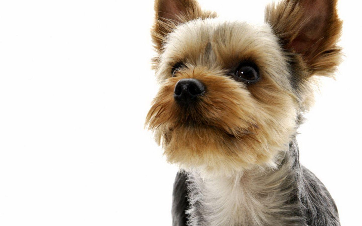 Yorkshire Terrier Widescreen Wallpapers - HD Wallpapers Inn