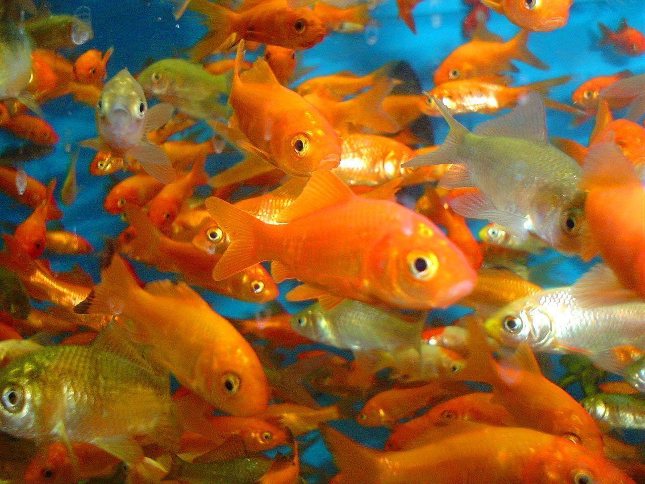 Animals For > Goldfish Wallpapers 3d