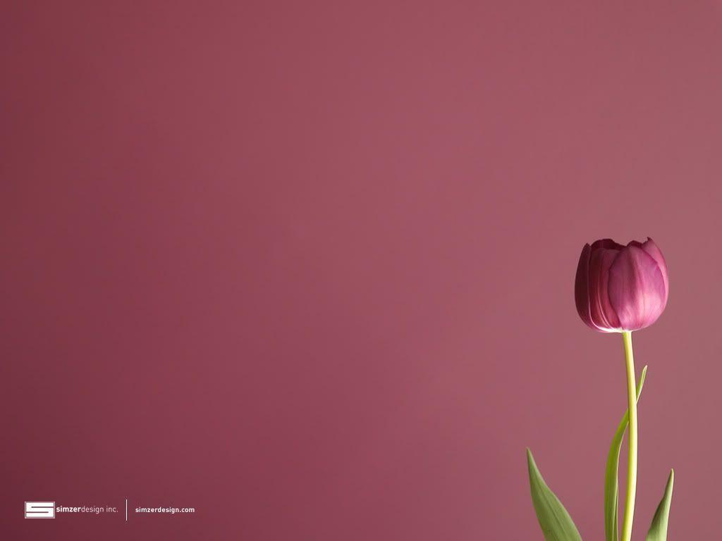 Tulip Wallpapers Tulip Desktop Backgrounds