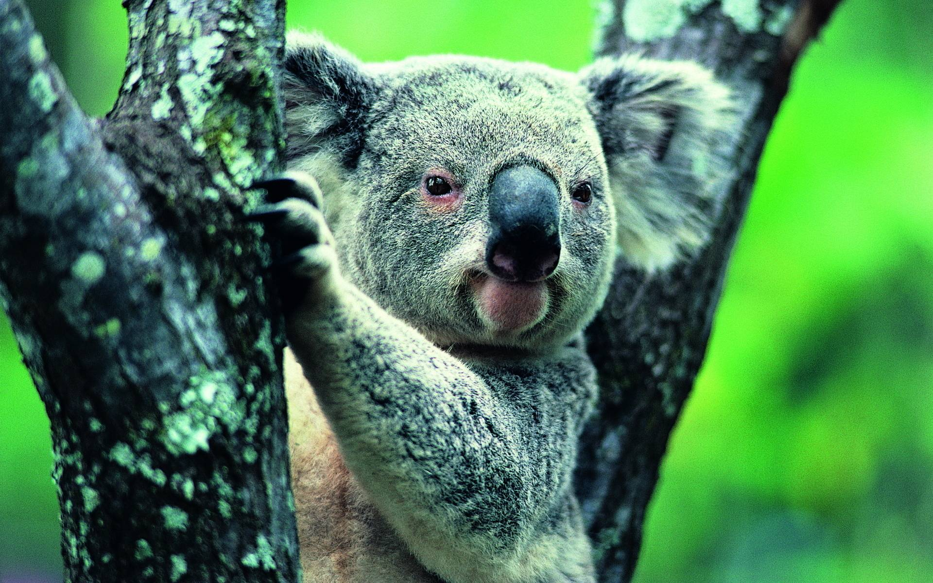 Koala Widescreen Wallpapers - HD Wallpapers Inn