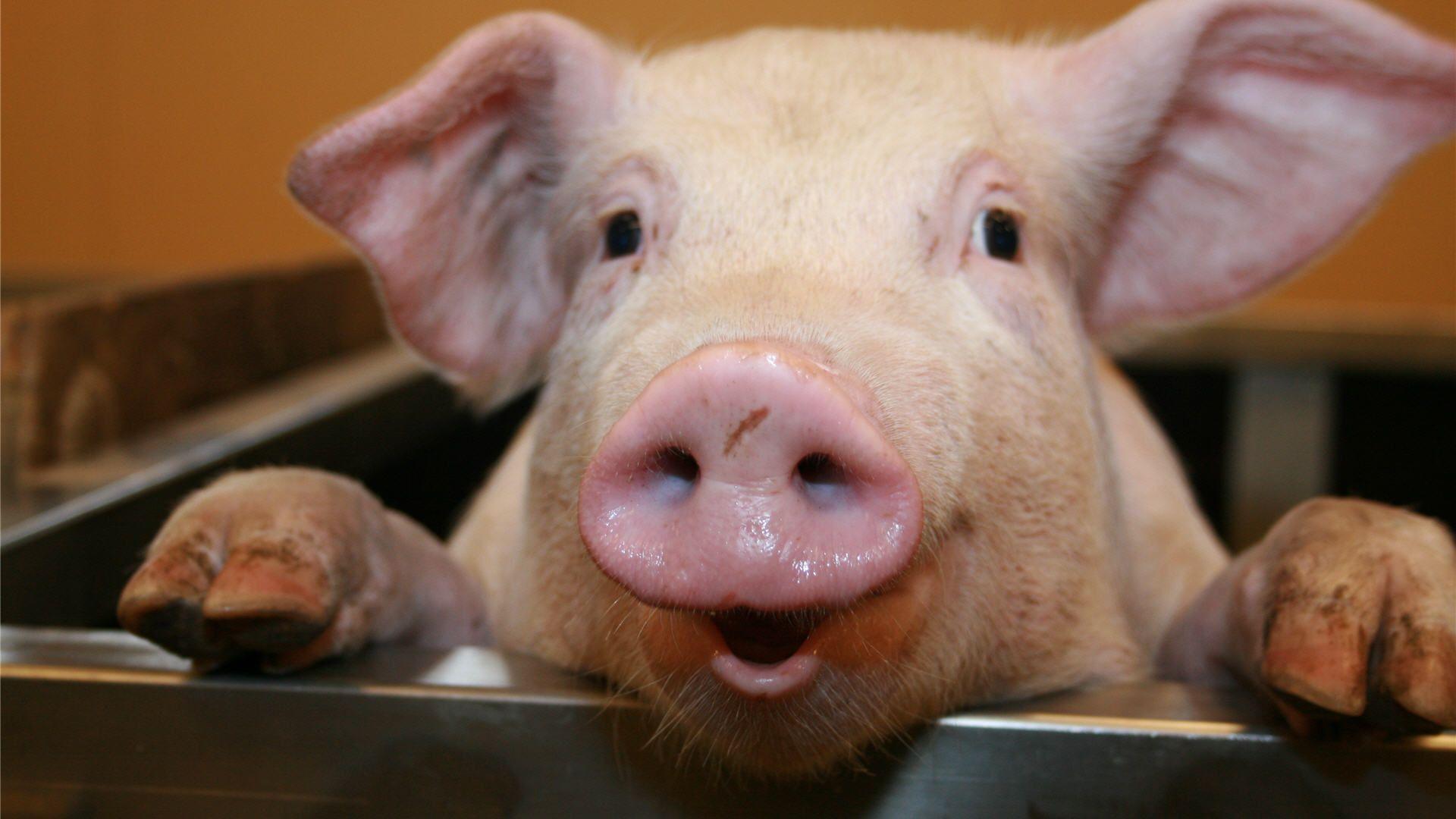 Pig HD Wallpapers - HD Wallpapers Inn