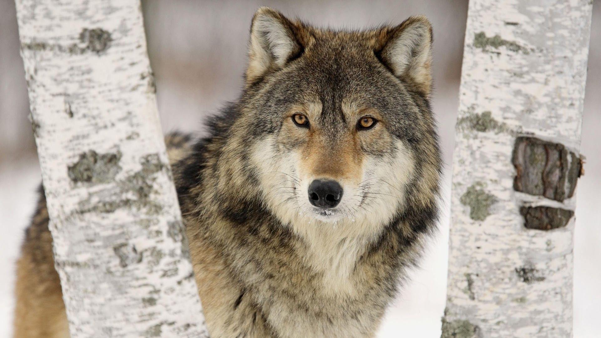 HD Wolf Wallpapers - Wallpaper Cave Wallpaper Hd Wolf