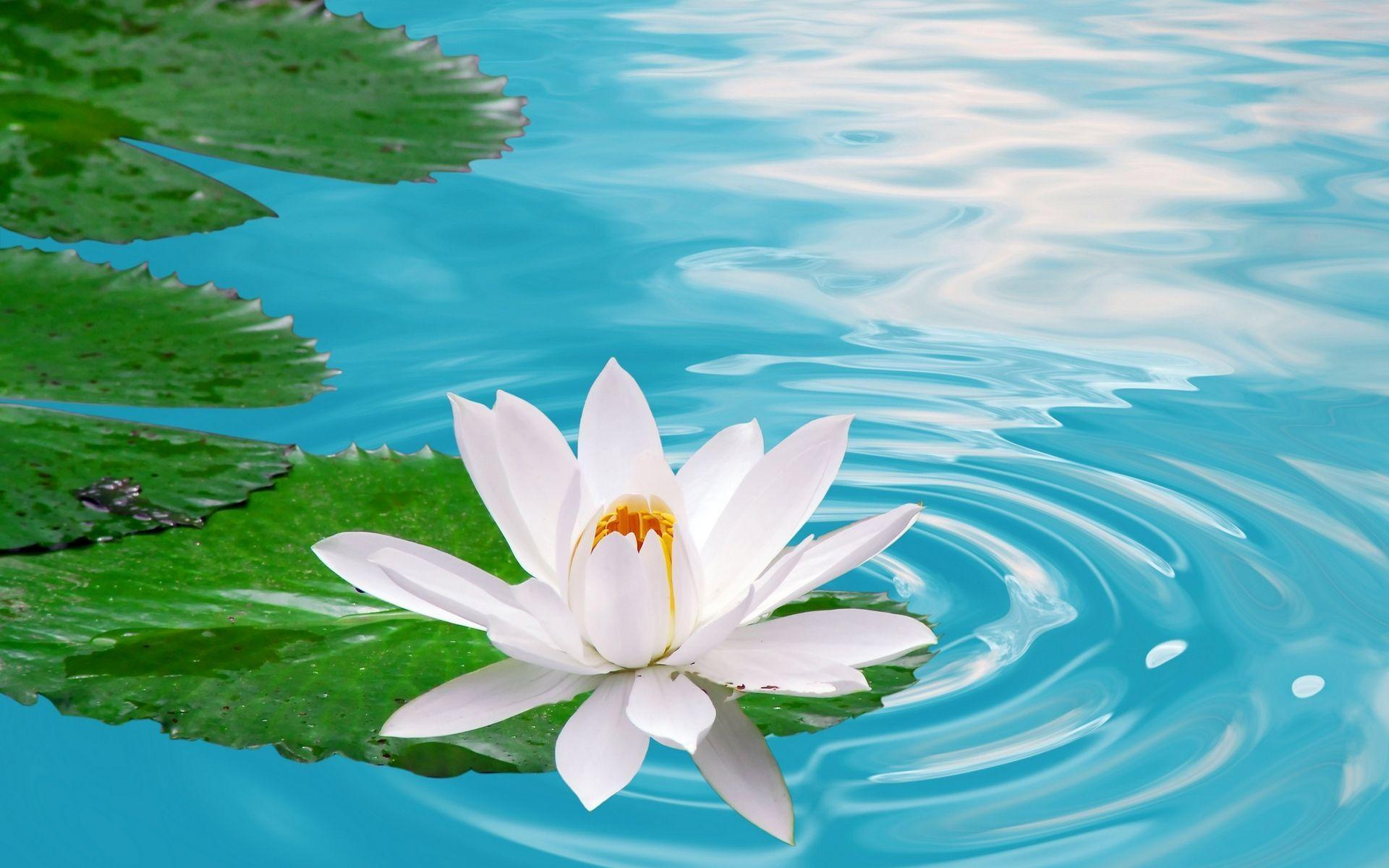 Lotus Flower Wallpapers 38 #25051 Wallpaper | Cariwall.