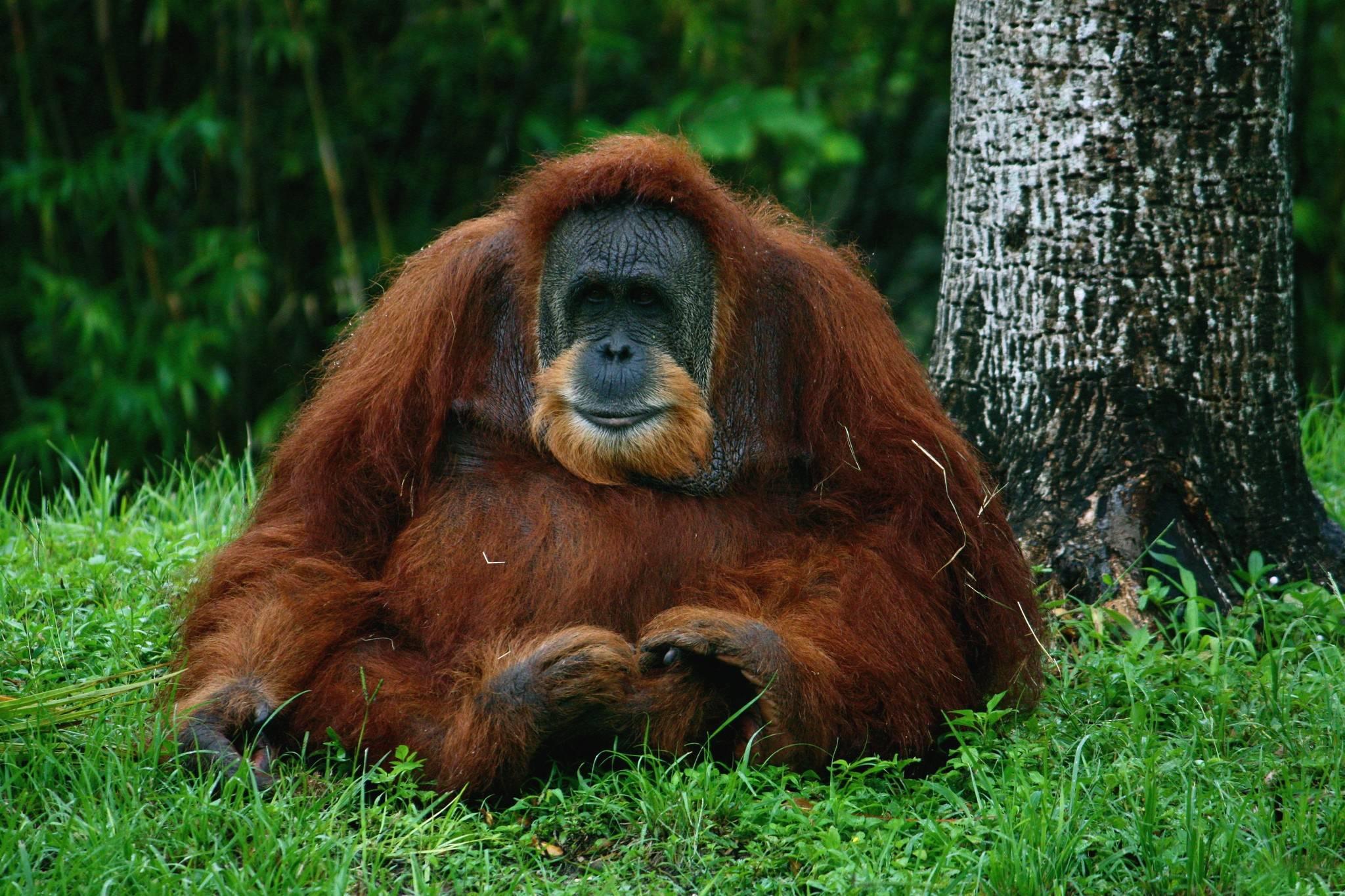 Orangutan Wallpapers Wallpaper Cave