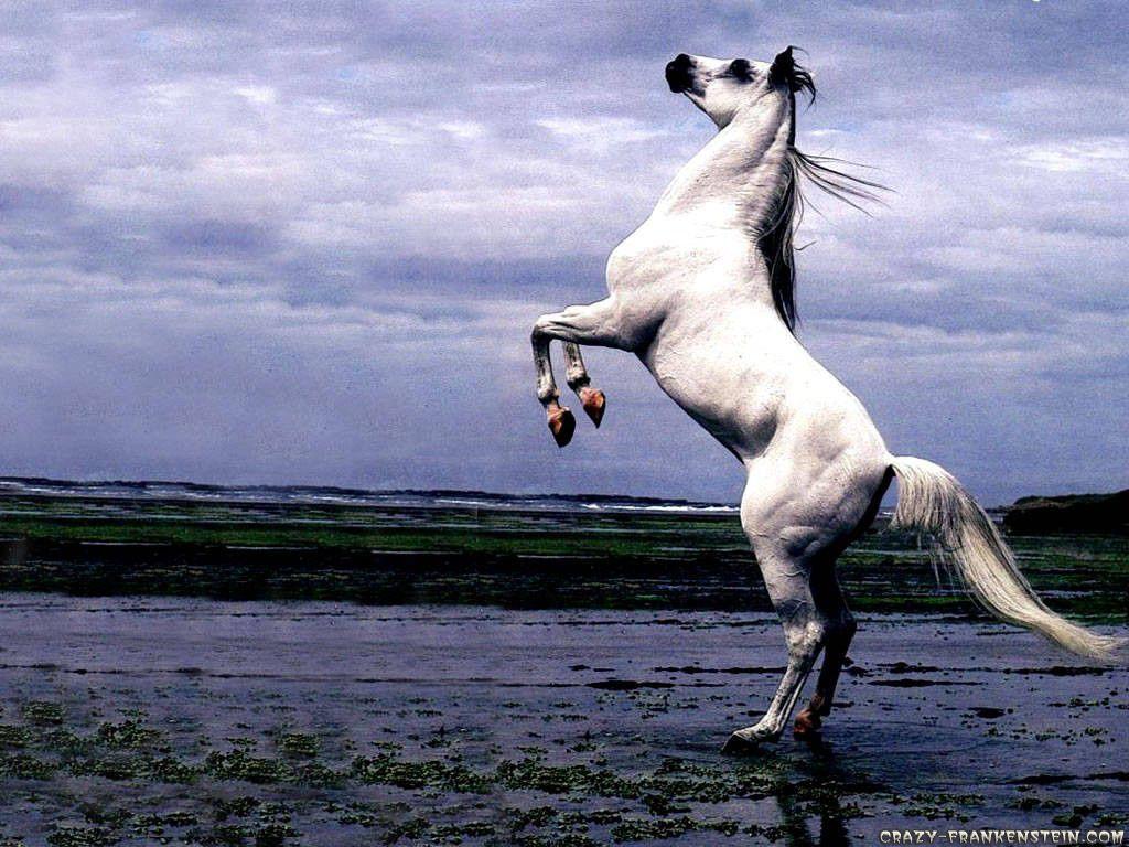 Arabian Horse Wallpaper Android #796 Wallpaper computer | best ...