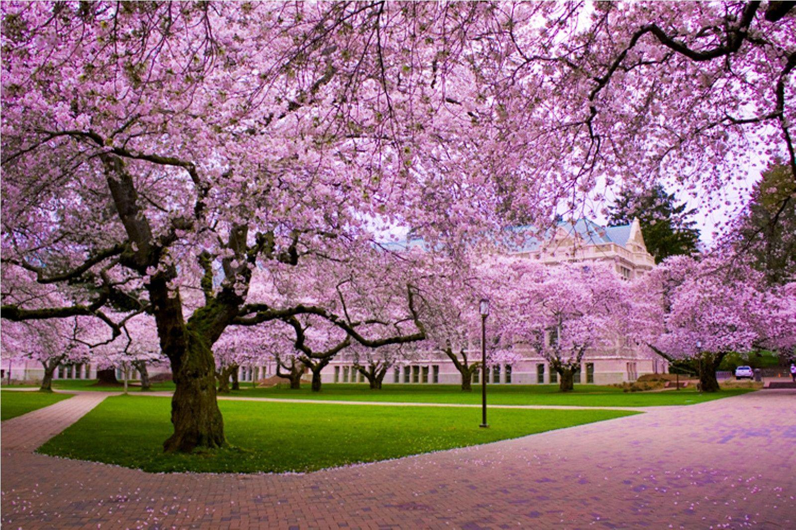 Cherry Blossom Wallpapers « Desktop Backgrounds Wallpapers HD