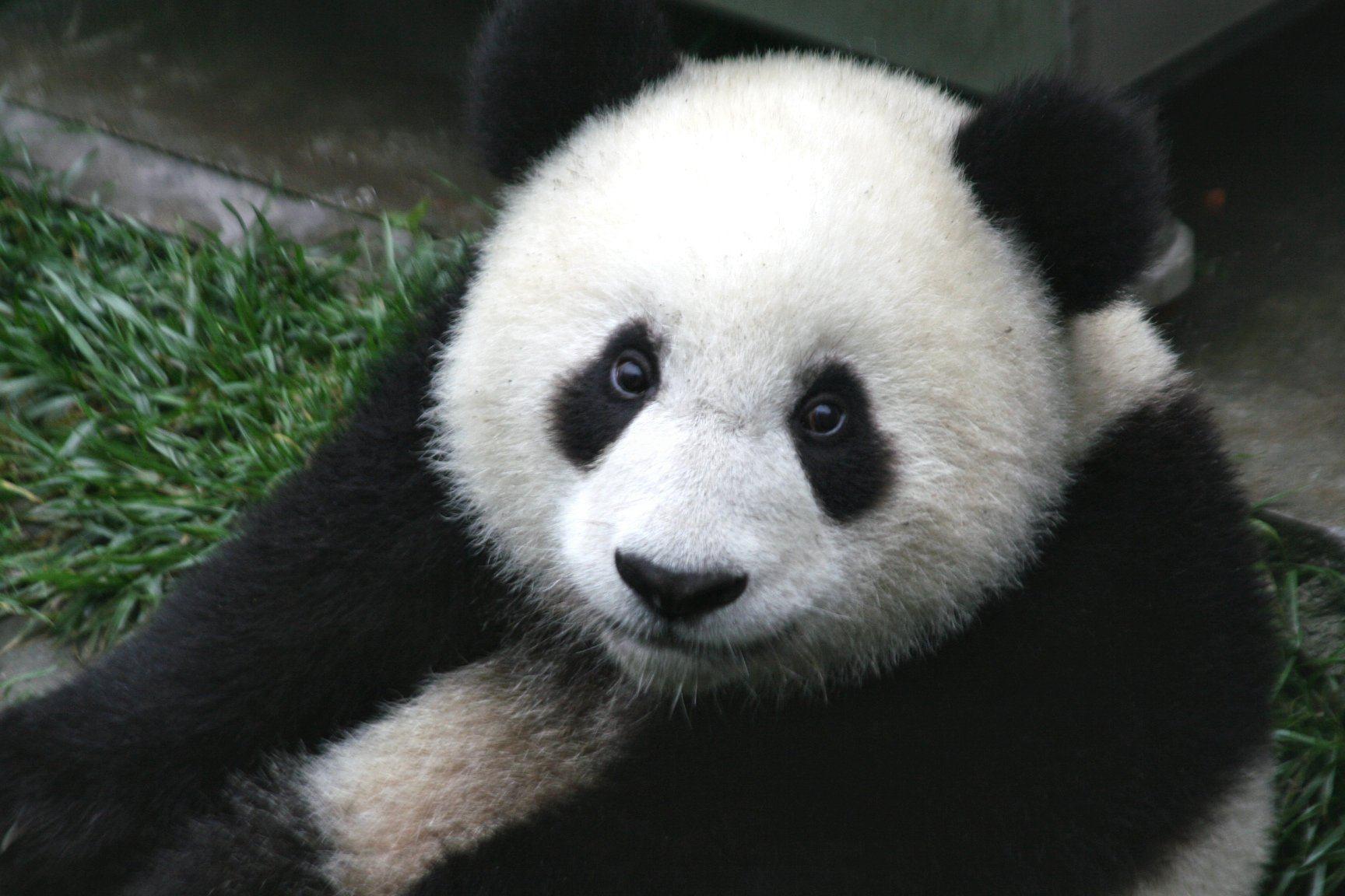 Cute Panda Bear Wallpaper | Animal HD Wallpapers