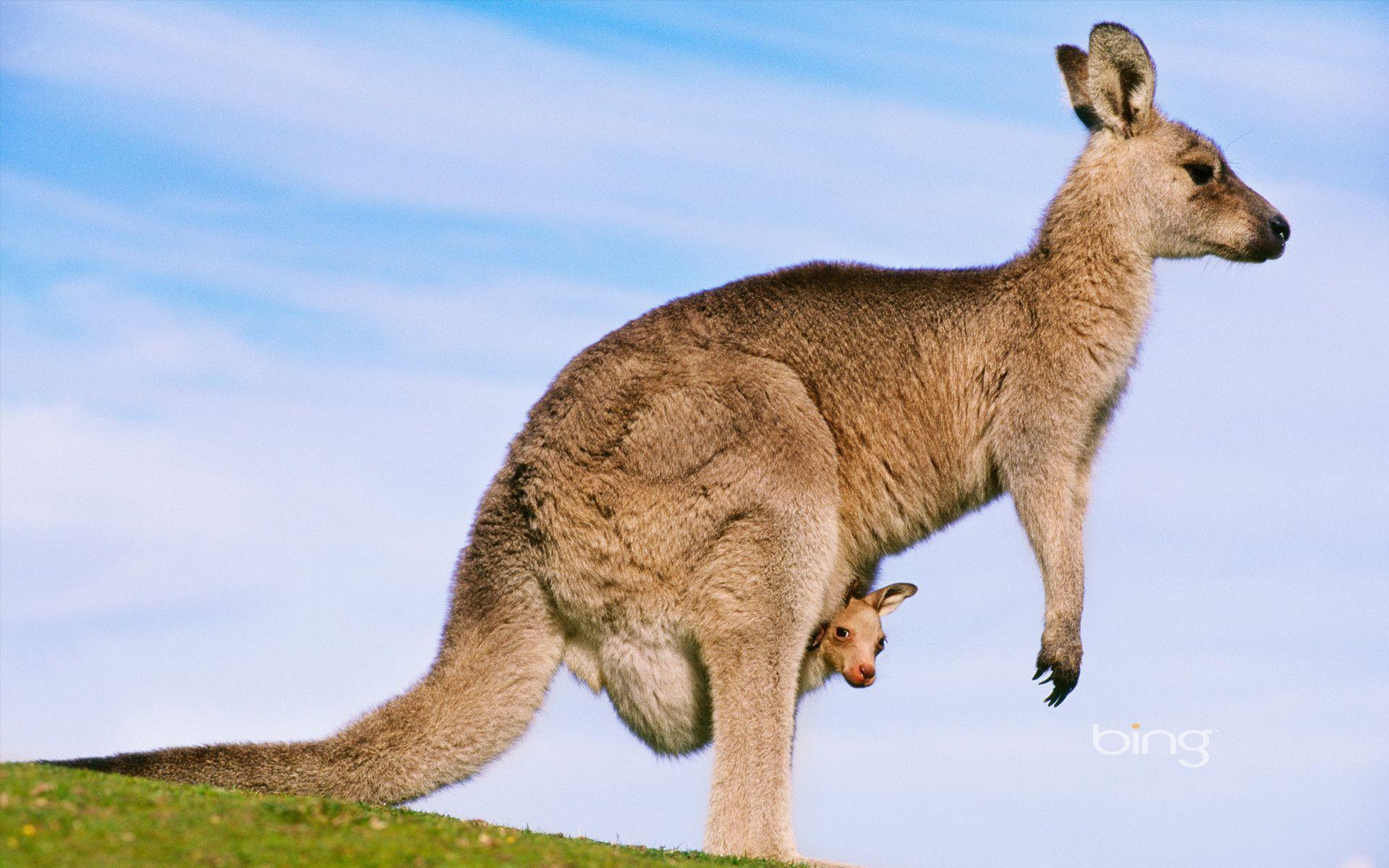 kangaroo with joey - Australian Joey's Wallpaper (29127952) - Fanpop