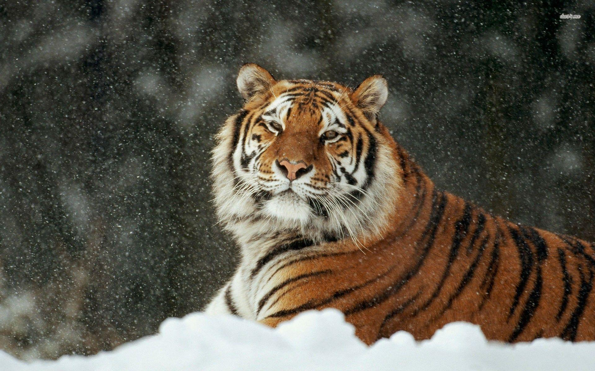 Siberian Tiger In The Snow Animal Wallpapers 1920x1200 px Free