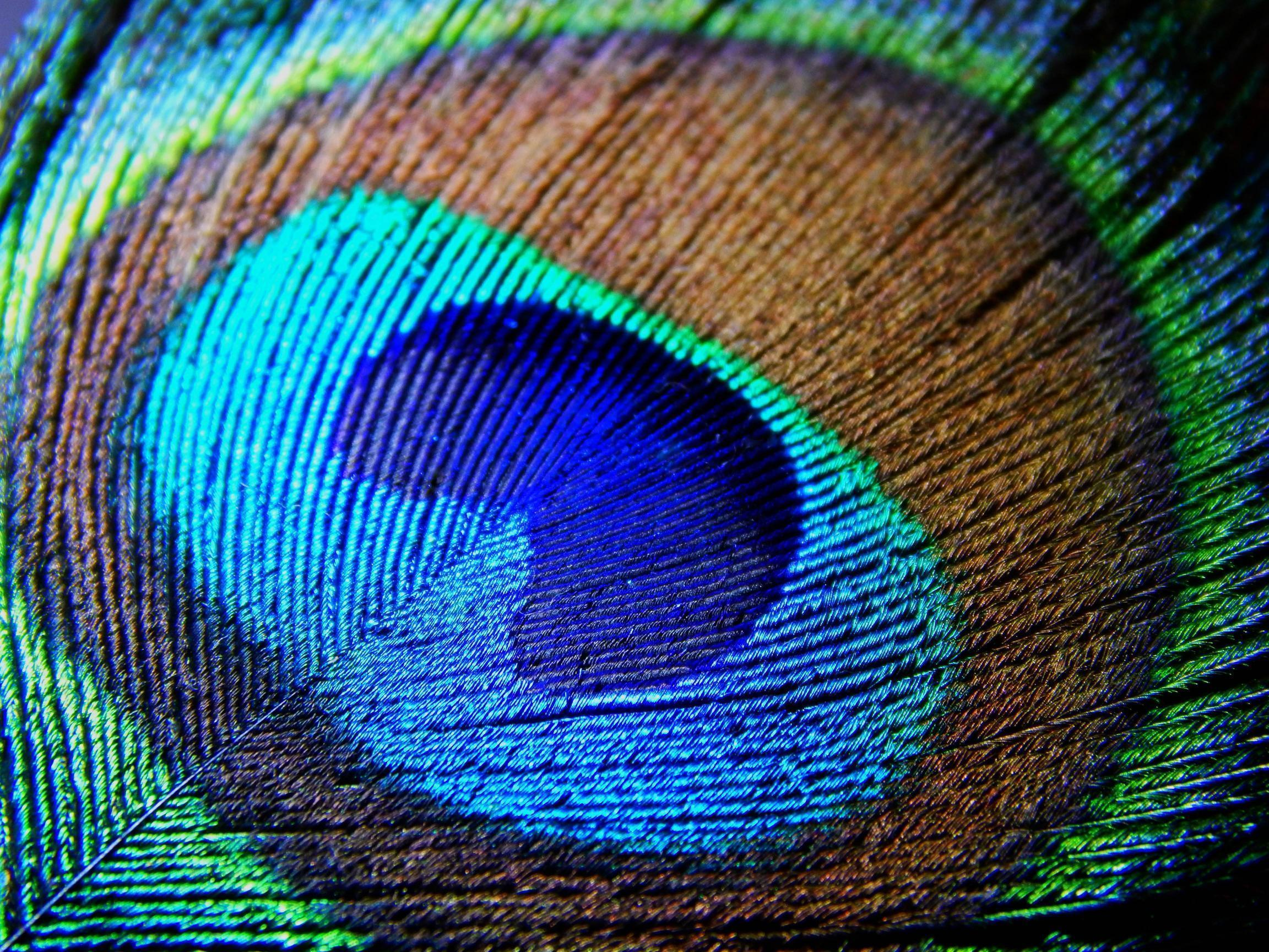 Peacock Feather Backgrounds
