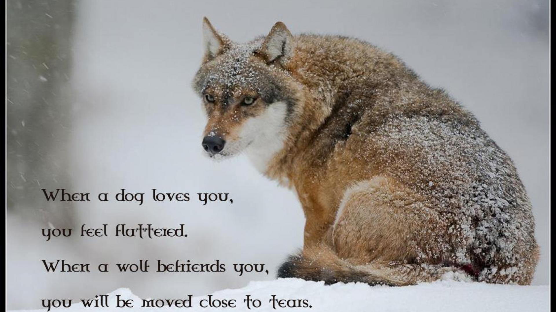Love Wallpapers Pack : Wolf Pack Wallpapers - Wallpaper cave