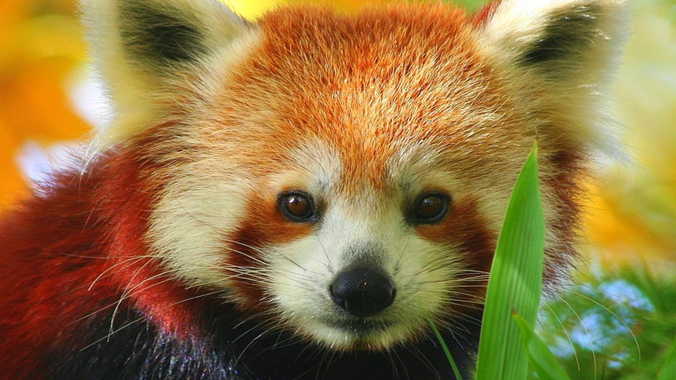 Red Panda Full Hd Wallpapers Pictures 1366x768PX ~ Funny Red Panda ...