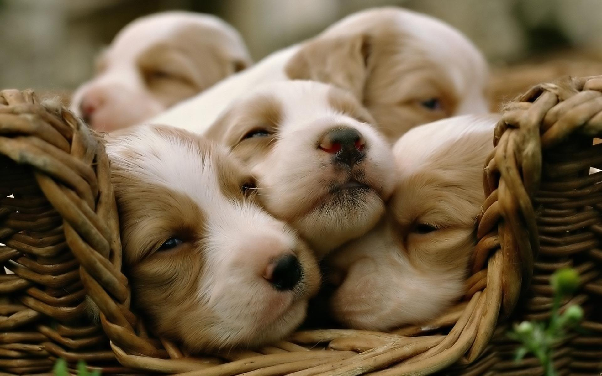 desktop backgrounds animal life dogs puppy dogs cute
